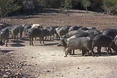 Raça italiana dos porcos Fotografia de Stock Royalty Free