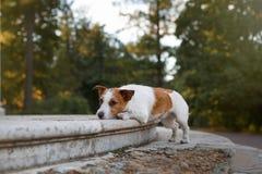 Raça Jack Russell Terrier do cão Fotos de Stock Royalty Free
