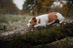 Raça Jack Russell Terrier do cão Imagem de Stock Royalty Free