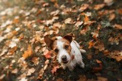 Raça Jack Russell Terrier do cão Foto de Stock Royalty Free