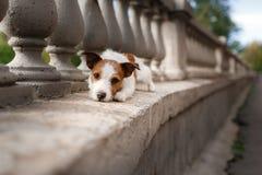 Raça Jack Russell Terrier do cão Foto de Stock
