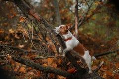 Raça Jack Russell Terrier do cão Fotografia de Stock Royalty Free
