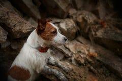 Raça Jack Russell Terrier do cão Fotografia de Stock