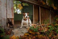 Raça Jack Russell Terrier do cão Imagem de Stock