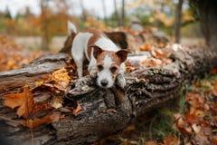 Raça Jack Russell Terrier do cão Imagens de Stock Royalty Free