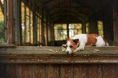 Raça Jack Russell Terrier do cão Fotos de Stock