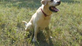 A raça labrador retriever do cão senta-se na grama verde e no descascamento Treinamento do animal doméstico Fim acima vídeos de arquivo