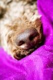 Raça macro bonita 50,6 Megapixels 6480 de Lagotto Romagnolo do fundo do nariz de cão com 4320 pixéis fotos de stock