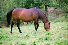 Raça misturada cavalo do Árabe-Quarto Imagens de Stock