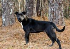 Raça misturada Labrador preto e branco Foto de Stock