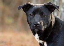 Raça misturada Labrador preto e branco Fotografia de Stock Royalty Free