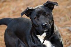 Raça misturada Labrador preto e branco Fotografia de Stock