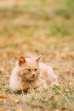 Raça misturada Peachy bege Cat Lazy Looking Aside adulta doméstica imagens de stock
