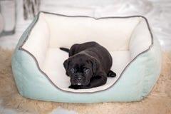 A raça preta de Cane Corso do cachorrinho encontra-se no sofá Foto de Stock