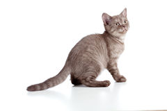 Raça pura ingleses listrados do gatinho pequeno Imagens de Stock Royalty Free