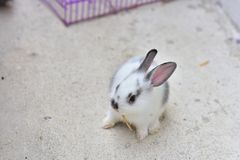 Raça recém-nascida bonita do coelho do bebê em Ásia planta-comer miliampère Fotografia de Stock
