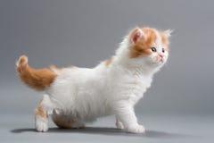 Raça reta escocesa do gatinho Fotos de Stock