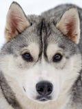 Raça ronca do cão imagens de stock