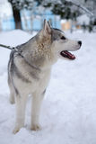 Raça ronca do cão imagens de stock royalty free