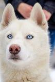 Raça ronca do cão foto de stock royalty free