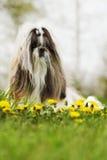 Raça Shitzu do cão Foto de Stock
