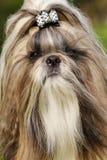 Raça Shitzu do cão Fotos de Stock