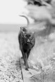 Raça Siamese do gato adulto do animal de estimação Imagem de Stock Royalty Free