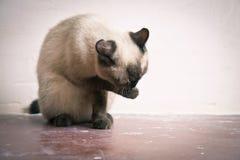 A raça tailandesa do gato lava seu focinho Fotos de Stock Royalty Free