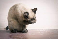 A raça tailandesa do gato lava seu focinho Imagem de Stock Royalty Free