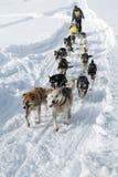 Raça tradicional Beringia do pequeno trenó de cão de Kamchatka Imagem de Stock