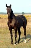Raça ucraniana do cavalo Imagem de Stock Royalty Free