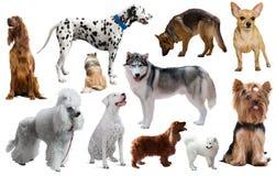 Raças diferentes do cão Imagens de Stock Royalty Free