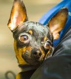 Raças do animal de estimação de Toy Terrier Fotografia de Stock