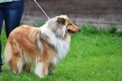 Raças do cão da collie Imagem de Stock Royalty Free