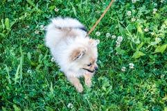 Raças do cão do Spitz Foto de Stock
