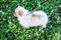 Raças do cão do Spitz Fotografia de Stock