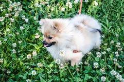 Raças do cão do Spitz Imagem de Stock