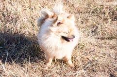 Raças do cão do Spitz Imagem de Stock Royalty Free