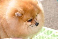 Raças do cão do Spitz Imagens de Stock Royalty Free