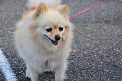 Raças do cão do Spitz Fotos de Stock
