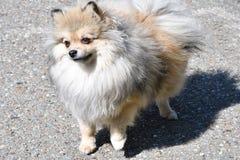 Raças do cão do Spitz alemão Imagem de Stock Royalty Free