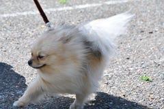 Raças do cão do Spitz alemão Fotografia de Stock Royalty Free