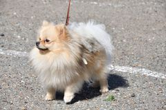 Raças do cão do Spitz alemão Imagens de Stock