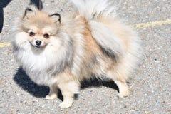 Raças do cão do Spitz alemão Foto de Stock Royalty Free