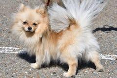 Raças do cão do Spitz alemão Imagem de Stock