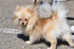 Raças do cão do Spitz alemão Fotografia de Stock