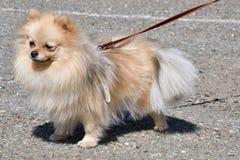Raças do cão do Spitz alemão Fotos de Stock Royalty Free