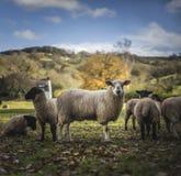 Raças do Suffolk e da mula Fotografia de Stock