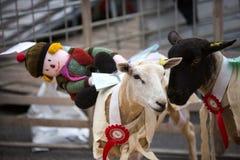 Raças dos carneiros de Moffat fotografia de stock