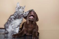 Raças Maine Coon do cachorrinho e do gatinho de Labrador Foto de Stock